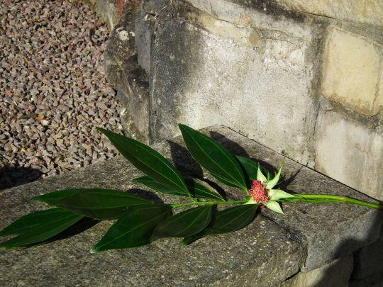 leaves rose no petals