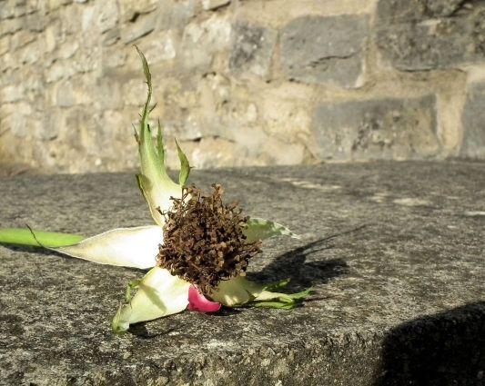 rose no petals lying